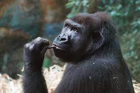 Great apes anticipate that other individuals will act according to false beliefs